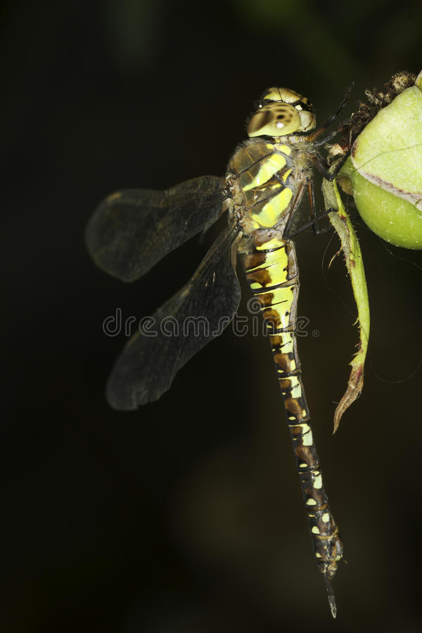 Mixta di Aeshna/venditore ambulante migratore Dragonfly fotografia stock