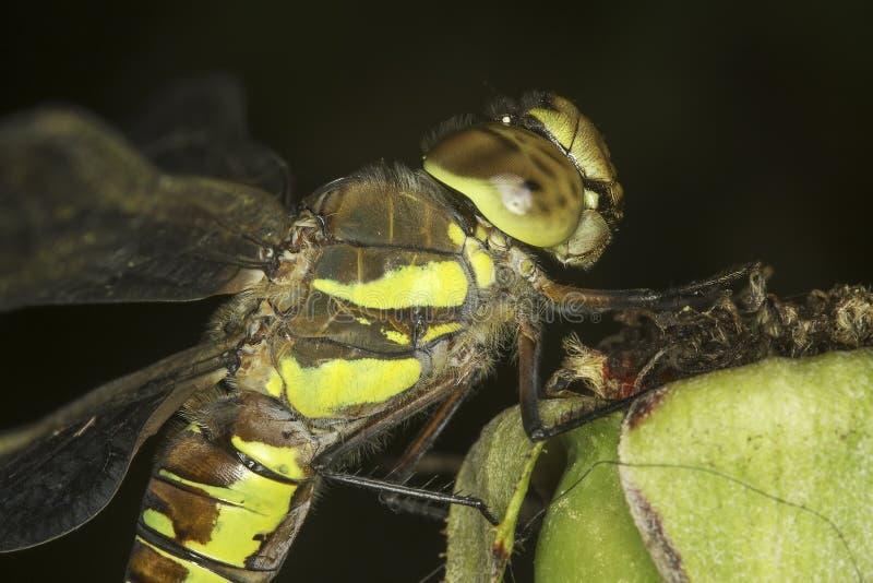Mixta di Aeshna/venditore ambulante migratore Dragonfly immagine stock libera da diritti