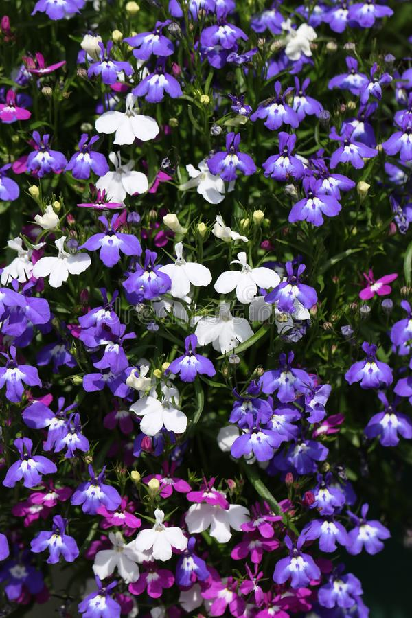 A mixture of colours of Lobelia, erinus, flowering plants growing in a garden in the UK in summer. royalty free stock images