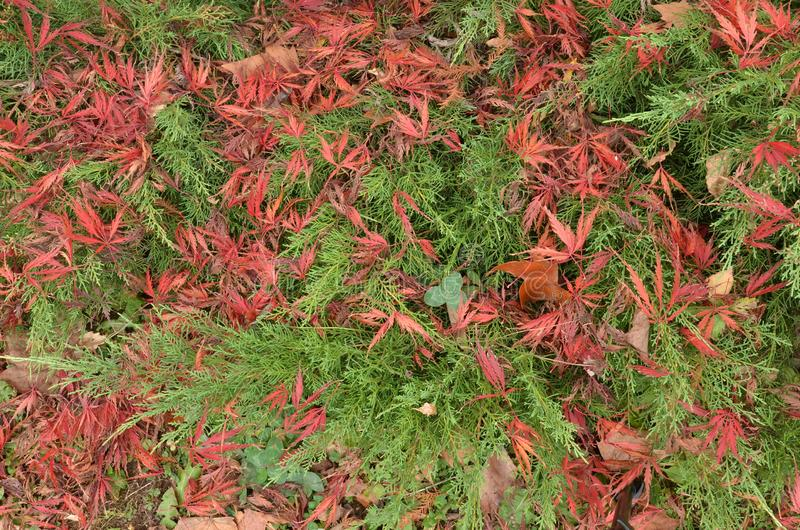 Mixture of green Juniper branches and red Japanese maple leaves royalty free stock photos