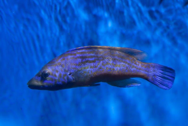 Download Mixtus Labrus Wrasse кукушки Стоковое Фото - изображение насчитывающей тропическо, морск: 81810136
