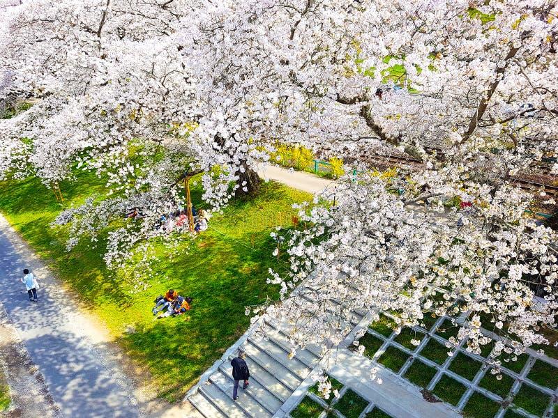 MIYAGI - 11-ОЕ АПРЕЛЯ 2018: Полное цветение вишневого цвета на общественном парке Funaoka в Sendai, Японии стоковое фото rf