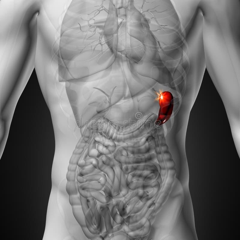 Mjälte - manlig anatomi av mänskliga organ - röntgenstrålesikt royaltyfri illustrationer