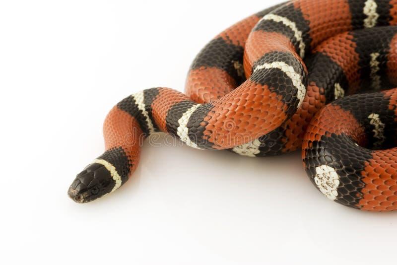 mjölka den nelson s ormen arkivbild