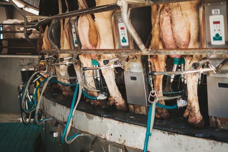 Mjölka kor på roterande mjölka mottagningsrum royaltyfri bild