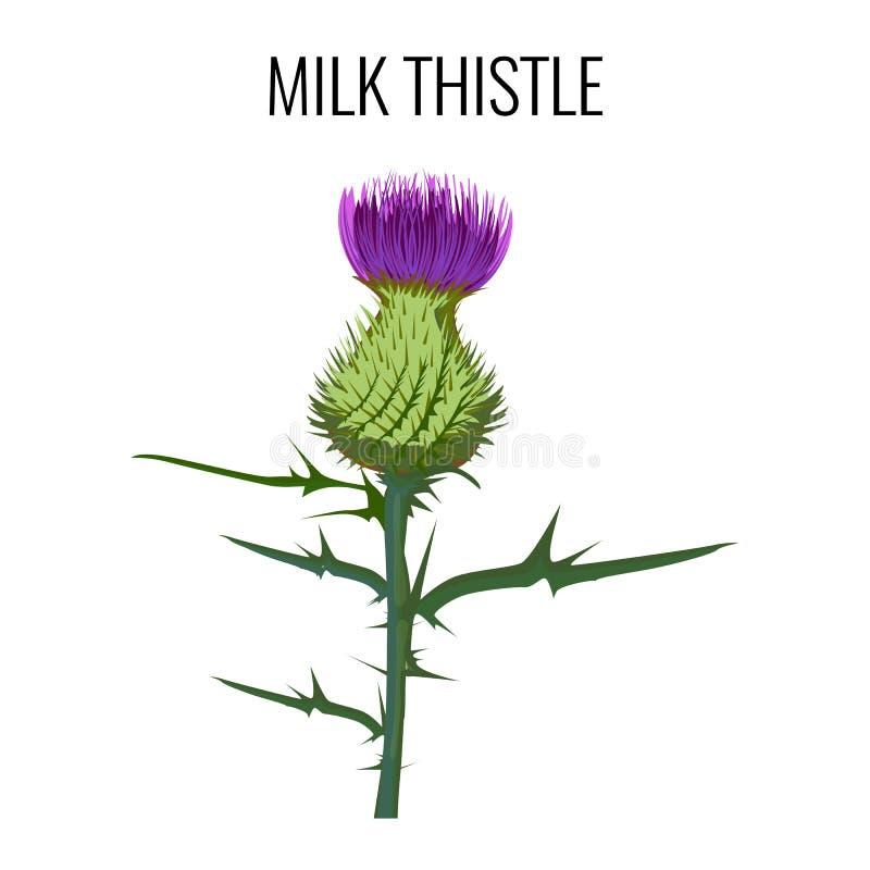 Mjölka tisteln på vit bakgrund Välsignad milkthistle, royaltyfri illustrationer