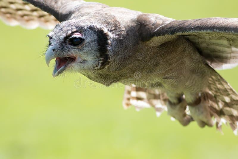 Mjölkaktig lacteus för Bubo för örnuggla i flykten Fågel av rovet som flyger wi arkivbild
