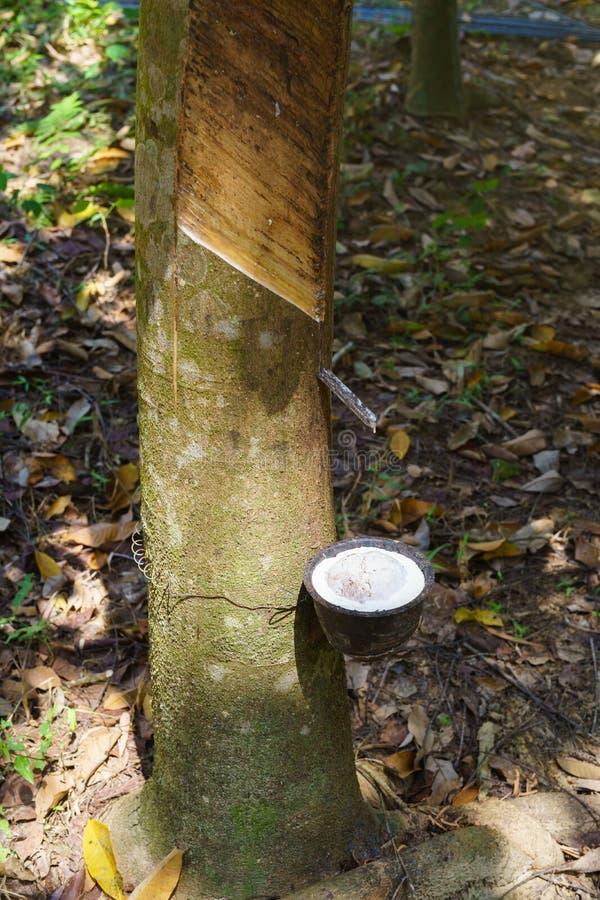 Mjölkaktig latex utdragen från gummiträdet royaltyfria bilder