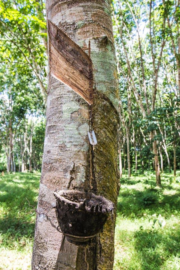 Mjölkaktig latex utdragen från gummiträdet (heveaen Brasiliensis) arkivbild