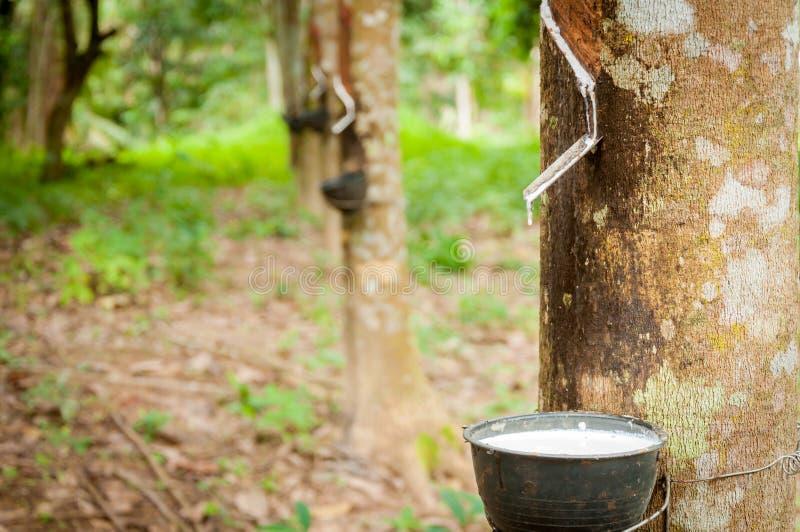 Mjölkaktig latex utdragen från gummiträdet (heveaen Brasiliensis) royaltyfri bild