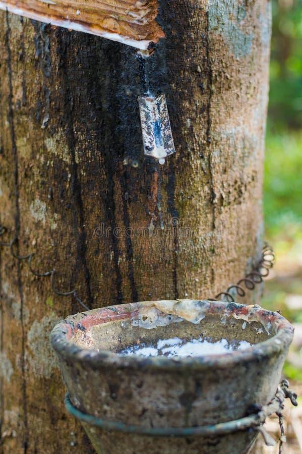 Mjölkaktig latex utdragen från gummiträdheveaen Brasiliensis som en källa av naturgummi fotografering för bildbyråer