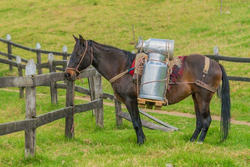 Mjölkar bärande ko` s för hästen arkivbild