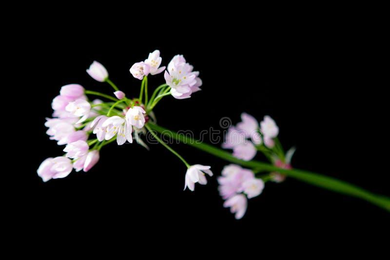 Mjölkerska dams skyddsrock, CuckooFlower lös blomma, rosa lös blomma royaltyfri bild