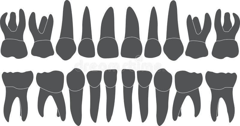 Mjölktänder - kröna och rota stock illustrationer