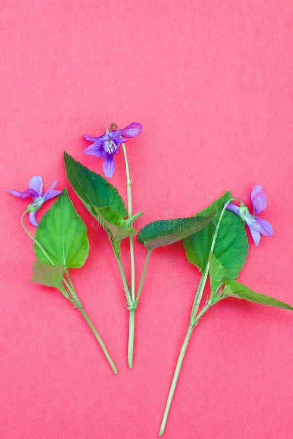 Mjuk altfiolväxt med färgrika violetta blommor på mjuk rosa bakgrund, vanlig plan lekmanna- vårnaturdesign royaltyfri fotografi