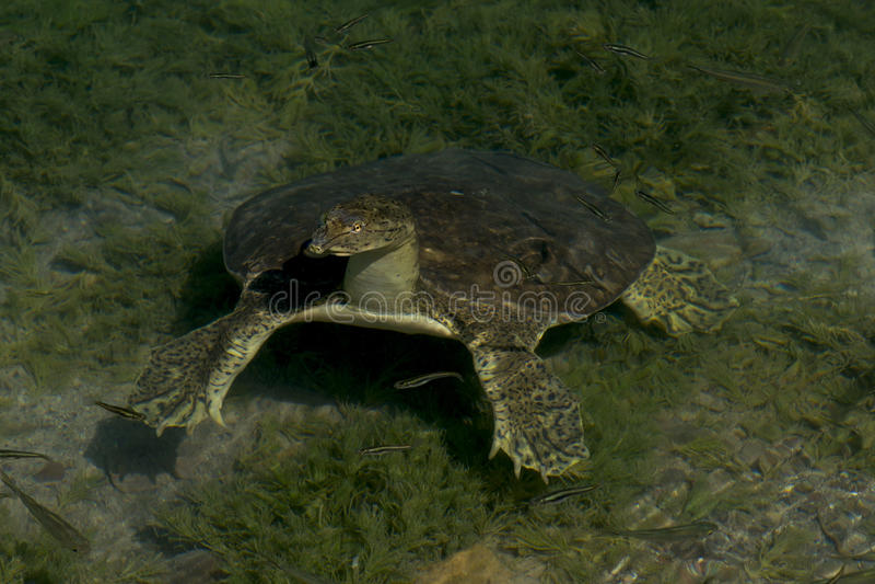 Mjuk-beskjuten sköldpadda
