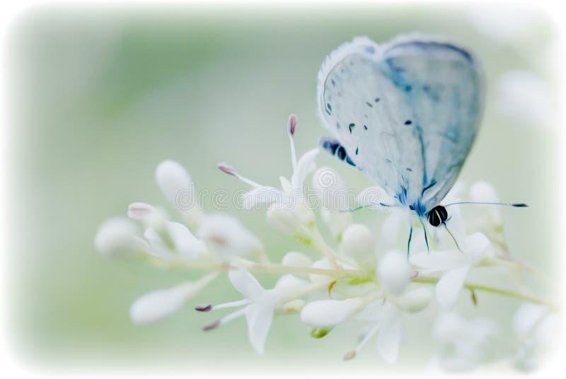 Mjuk blå fjäril på en blom för vit blomma arkivbilder