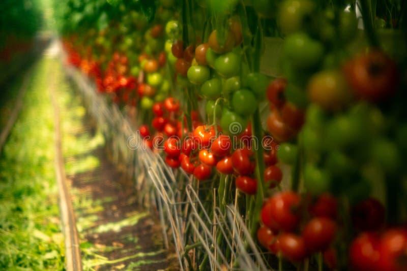 Mjuk filtereffekt Holländskt bio lantbruk, stort växthus med tomat arkivbild