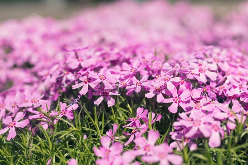 Mjuk flox för rosa färger för illustrationsommar för bakgrund härlig vektor royaltyfria foton