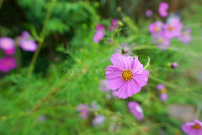 Mjuk fokus av kosmosblommor som blommar i trädgården som bakgrund royaltyfri bild