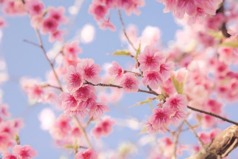 Mjuk fokus Cherry Blossom eller Sakura blomma arkivfoto