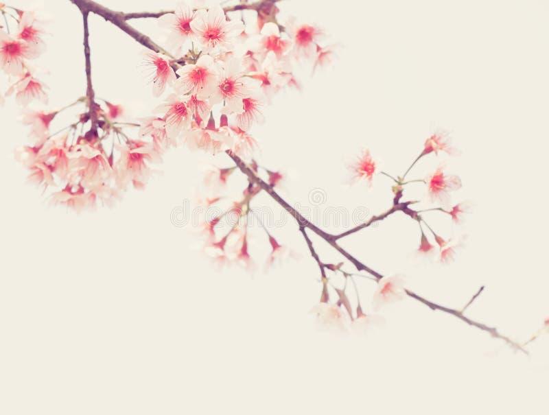 Mjuk fokus Cherry Blossom eller Sakura blomma på naturbakgrund arkivfoton