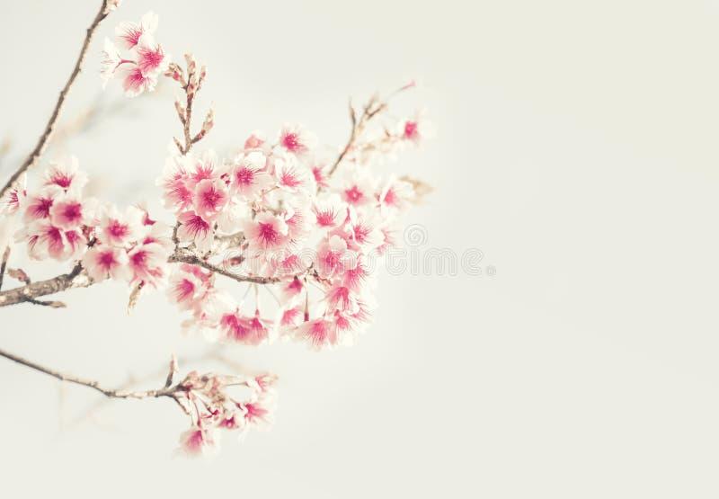 Mjuk fokus Cherry Blossom eller Sakura blomma på naturbakgrund royaltyfria foton