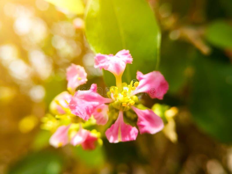 Mjuk fokus för val på det gula pollenet av härliga rosa blommor Rosa blommor med bakgrund för bokehnaturljus arkivbild