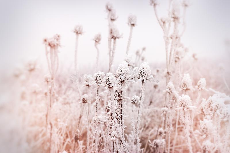 Mjuk fokus på rimfrost på tisteln - kardborre, morgondimma och frost i ängen royaltyfri fotografi