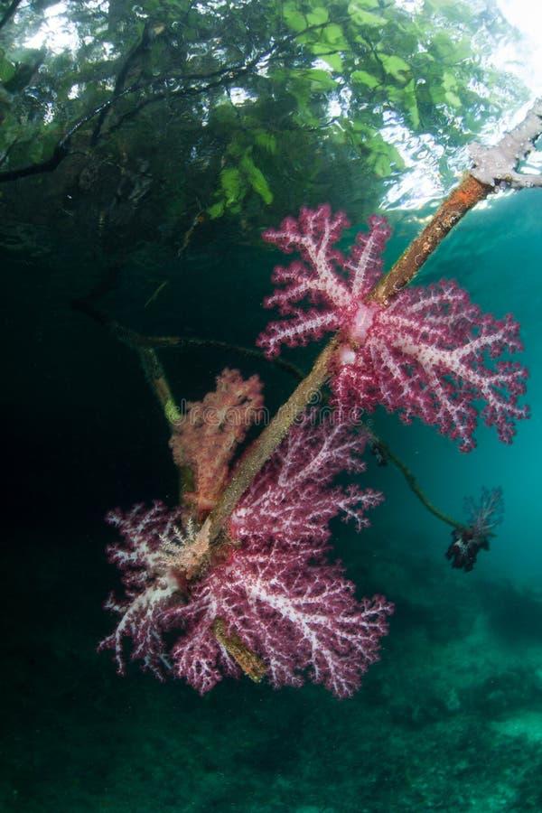 Mjuk korallkrusidull på kanten av mangroven arkivfoton