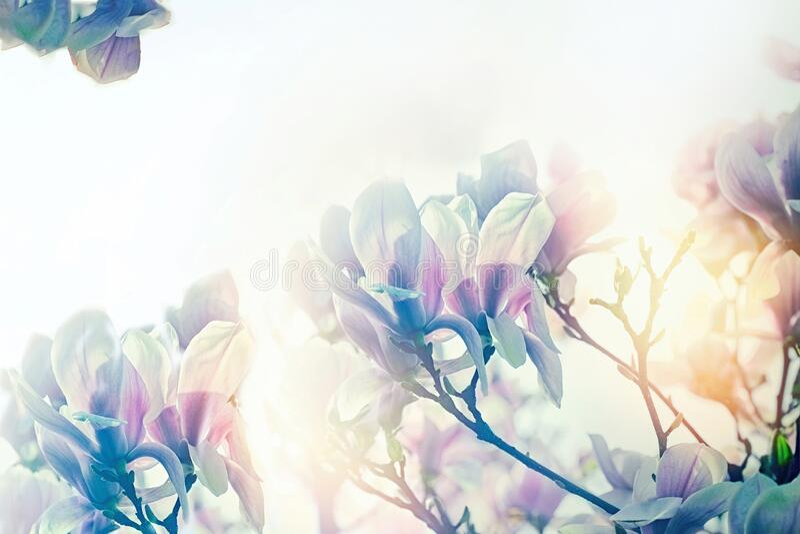 Mjuk och selektiv fokusering på magnoliefolan, vackra blomrosor av magnolia på våren arkivbild