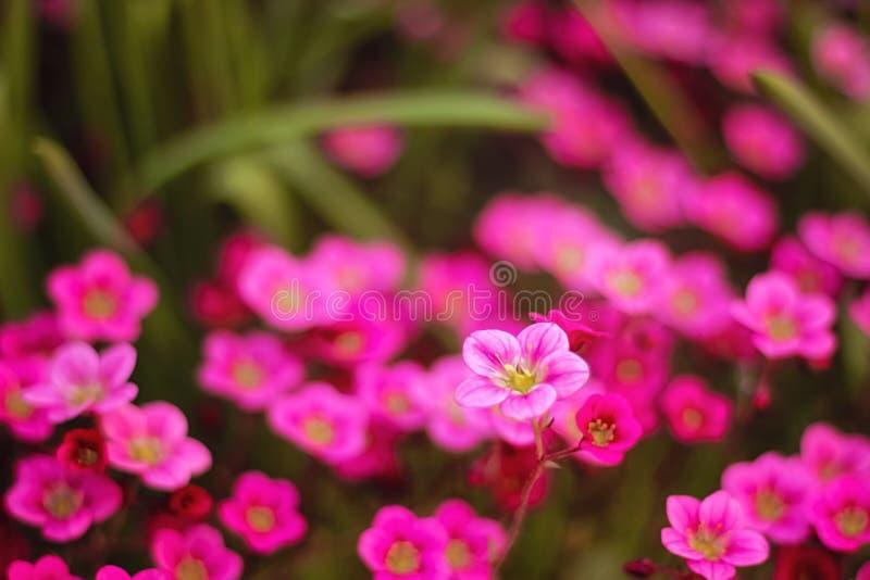 Mjuk och suddighetsbefruktning Härligt litet format för rosa och blåa blommor som blommar i trädgårdslutet upp på bakgrunden royaltyfri bild
