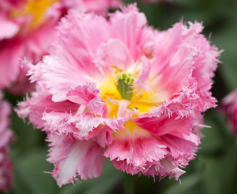 Mjuk rosa tulpan med dubbla kronblad royaltyfria bilder