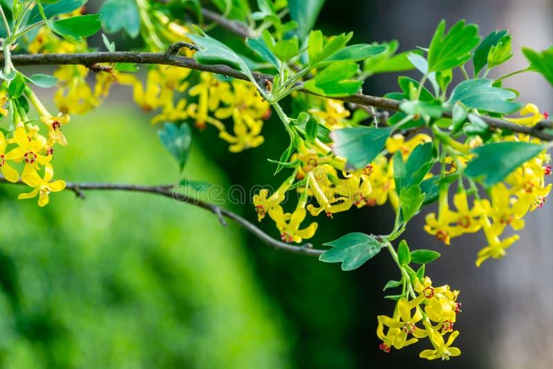 Mjuk selektiv fokus av gult blomma för Ribesaureumblomma royaltyfri fotografi