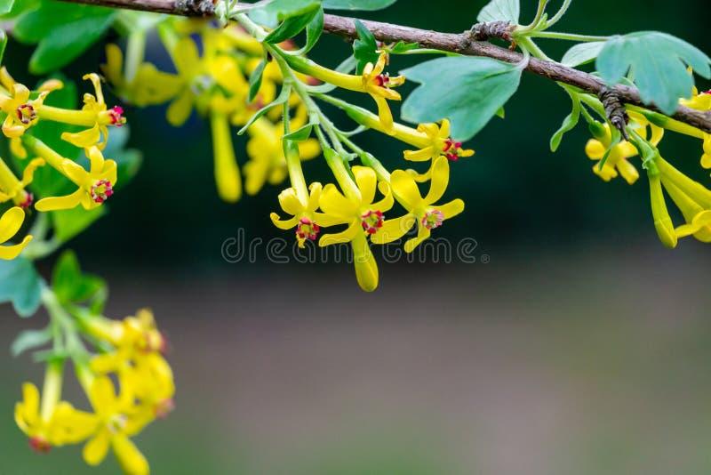 Mjuk selektiv fokus av gult blomma för Ribesaureumblomma Blommor guld- vinb arkivfoto
