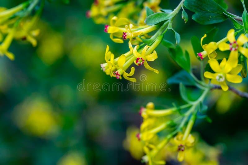 Mjuk selektiv fokus av gult blomma för Ribesaureumblomma Blommor guld- vinb?r, kryddnejlikavinb?r som ?r pruterberry royaltyfri fotografi