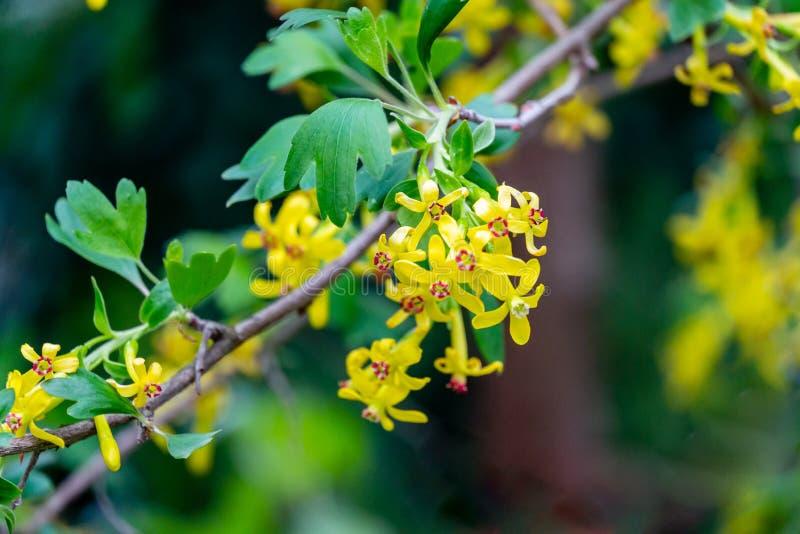 Mjuk selektiv fokus av gult blomma för Ribesaureumblomma Blommor guld- vinb?r, kryddnejlikavinb?r som ?r pruterberry arkivbild