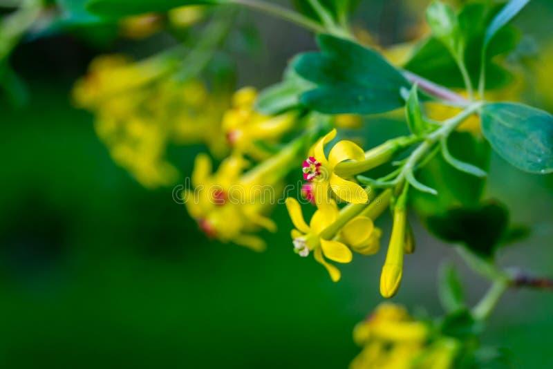 Mjuk selektiv fokus av gult blomma för Ribesaureumblomma Blommor guld- vinb?r, kryddnejlikavinb?r som ?r pruterberry royaltyfria foton