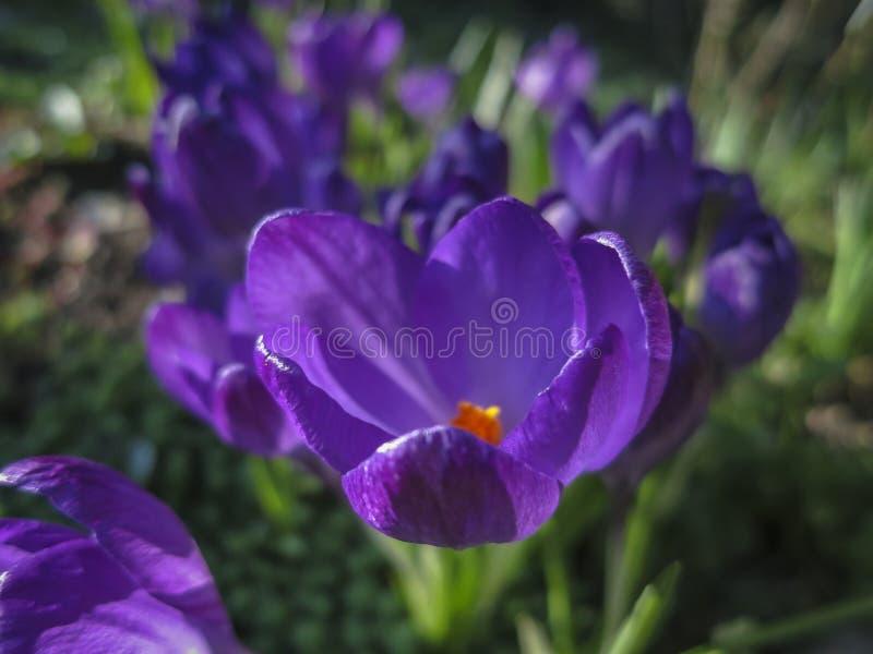 Mjuk selektiv fokus av närbilden purpurfärgade Ruby Giant Crocus på en solig vårdag arkivbilder