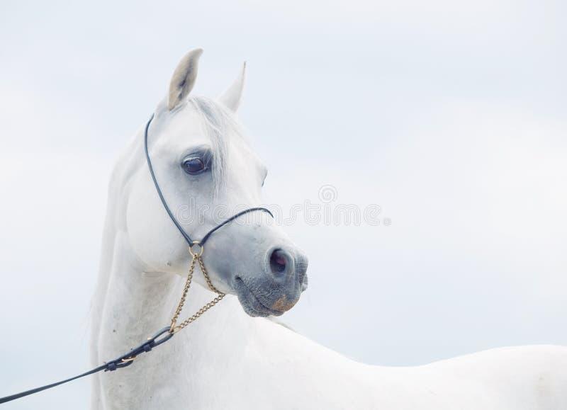 Mjuk stående av den vita underbara arabiska hästen på himmelbakgrund royaltyfri foto