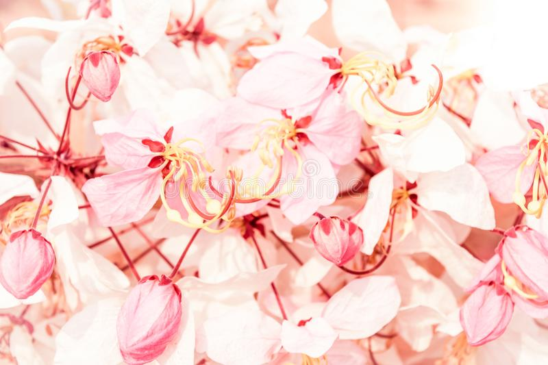 Mjuk suddighet av rosa blommor fotografering för bildbyråer