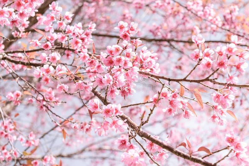 Mjuk suddighet av rosa blommor royaltyfri foto