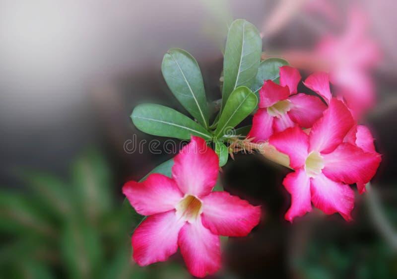 Mjuk suddighet för rosa blommor som blommar i trädgård royaltyfri foto