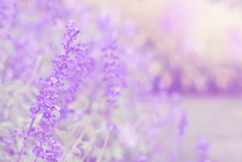 Mjuk suddighet på den härliga lavendelblomman i trädgården royaltyfria bilder