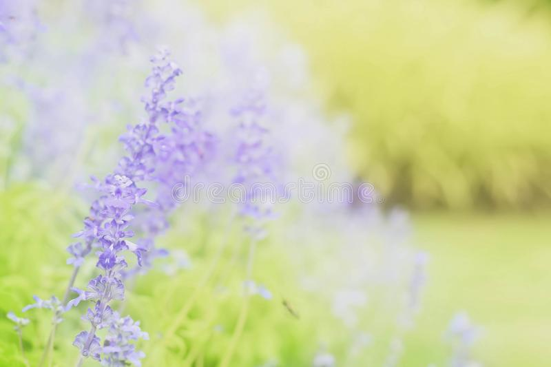 Mjuk suddighet på den härliga lavendelblomman i trädgården arkivfoton