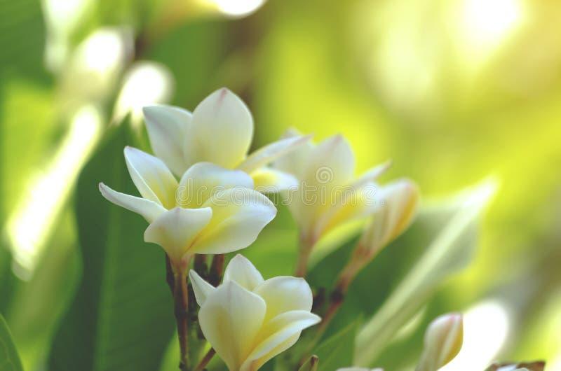 Mjuk vit plumeriablommabukett p? filialtr?d i morgon p? gr?n suddighet av naturbakgrund royaltyfri bild