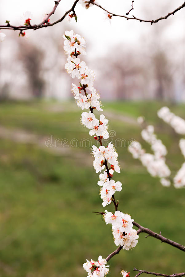 Mjuka aprikosblommor fotografering för bildbyråer
