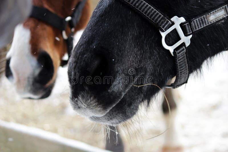 mjuka känsliga näsor av två unga hästar i halters - som är svarta och som är röda med en vit fläck hästar står i en paddock utanf arkivfoto