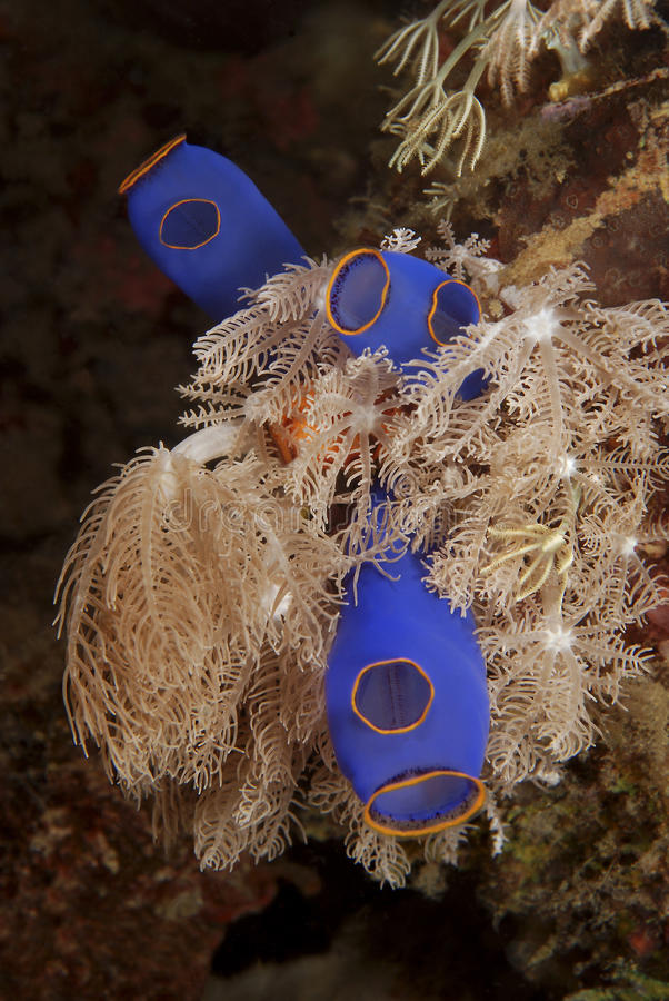 Mjuka koraller och ascidia & x28; tunicata& x29; royaltyfri foto