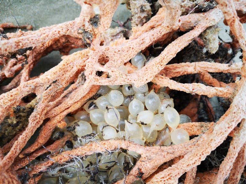 Mjuka koraller och som fästas av, behandla som ett barn bläckfiskägg som bort fortfarande tvättas på havskusten fotografering för bildbyråer